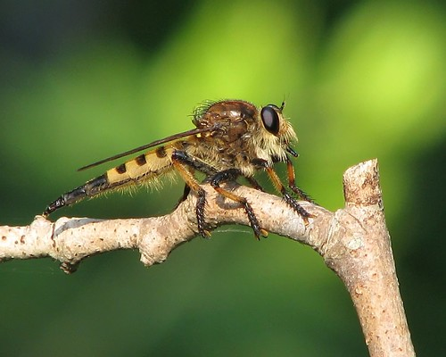 Robberfly  (Promachus rufipes) | by Vicki's Nature