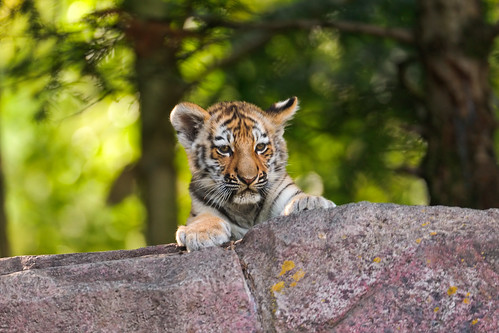 Cub looking over the cliff | by Tambako the Jaguar