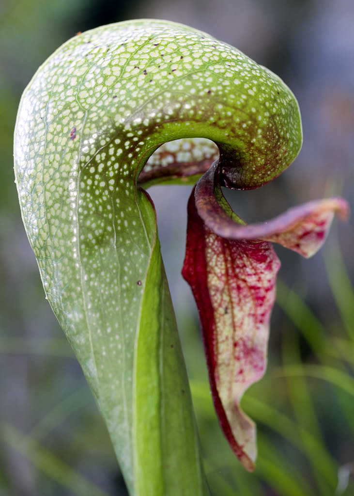Darlingtonia Californica California Pitcher Plant Or Cobr