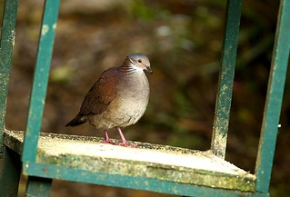 White-throated Quail-Dove at feeder - Tapichalaca - South-Ecuador_S4E2074 | by fveronesi1