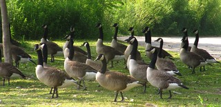 Geese on parade | by Ducklover Bonnie