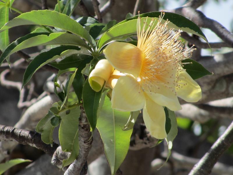 Boab Tree Adansonia Gregorii Flower Darwin Northern Te