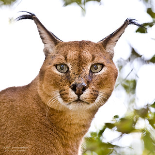 Caracal Looks into your Eyes at the Memphis Zoo, Tennessee | by D200-PAUL