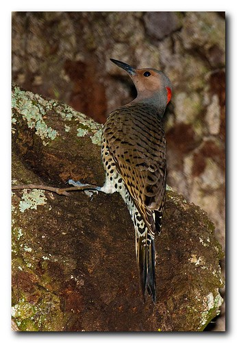 Northern Flicker | by Nature Photos by Scott