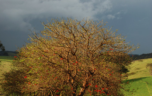 Flame Tree | by John Lindesay Small