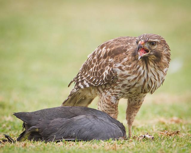 redshouldered hawk juvenilebuteo lineatus oceano ca