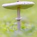 Mushroom in Friston Forest (Macrolepiota mastoidea)