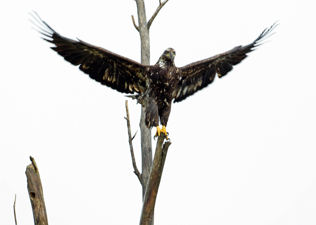 Bald Eagle By Steve Gifford Not The Best Lighting For