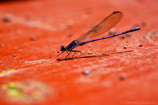 Damselfly | by David A Córdova M
