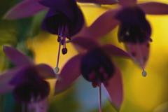 Fuchsias in October 10