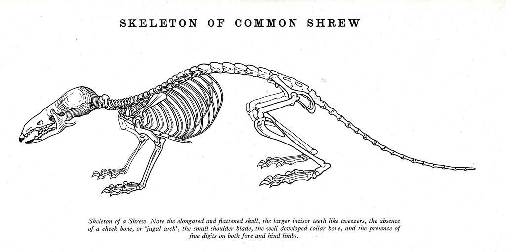 Diagram Of A Shrew A Bone House Wiring Diagram Symbols
