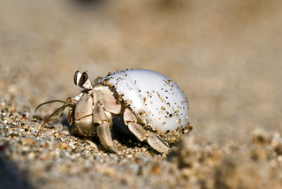 Hermit crab | by dtrimarchi