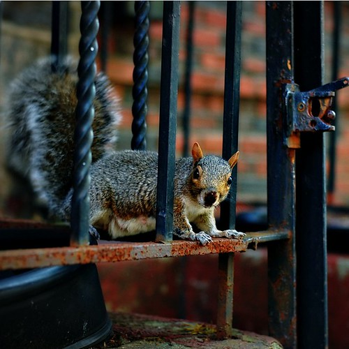 new york squirrel - happy fence friday! | by Daniela Klara R. (gone)