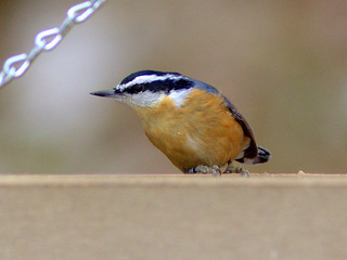 Red-breasted Nuthatch note band 20111112 | by Kenneth Cole Schneider