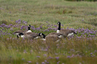 _MG_1532 copy Canada Geese | by Graham N Brownlow