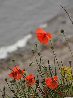 20110708_16 Red poppies by the ocean | Kåseberga, Sweden | by ratexla