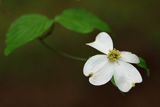 Dogwood greets the morning | by gnuru