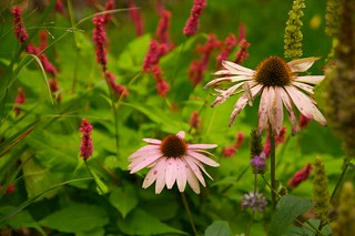 echinacea purpurea  628 | by Scott Weber PDX