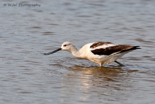 American Avocet | by DelawareBill