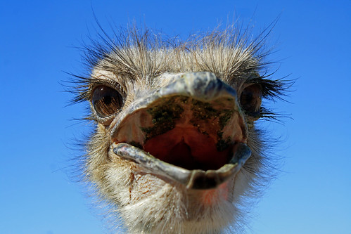 Ostrich closeup | by khosey1