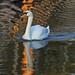 Swan on the Bierkade making orange waves