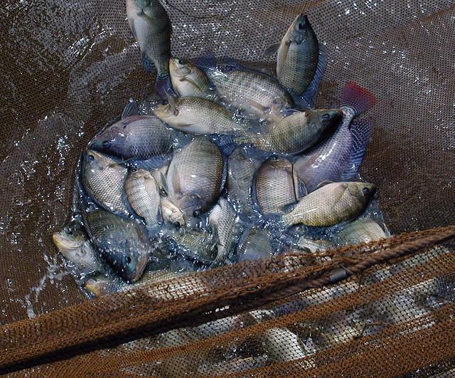 Harvested GIFT tilapia, Bangladesh. Photo by WorldFish, 2005