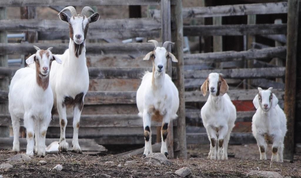 Image result for Goat family