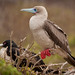 Red-footed Booby on the Galápagos Islands