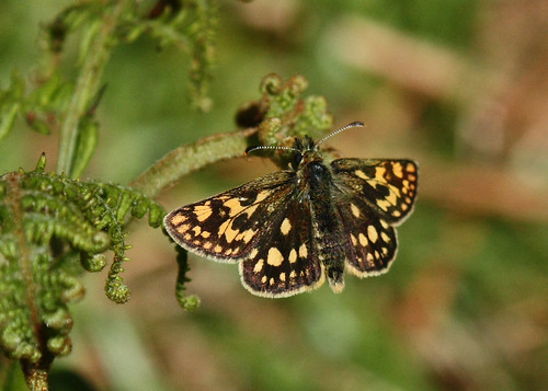 Carterocephalus palaemon - Chequered Skipper | by a_paphia