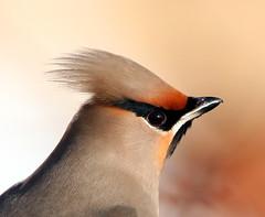 waxwings by Dean Eades BirdMad Wildlife Photography