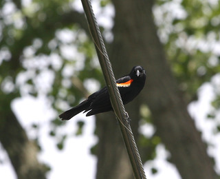 Red-winged blackbird stares me down | by jbillings06
