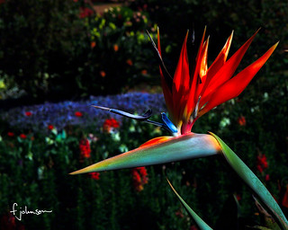 Bird of Paradise Flower | by Himalayafan