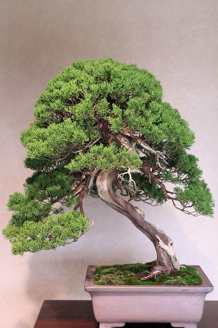 ���� shimpaku japanese juniper �������� bonsai museum flickr photo