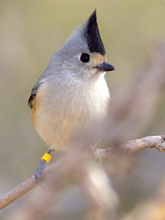 Black-crested Titmouse with color band 20111112 | by Kenneth Cole Schneider