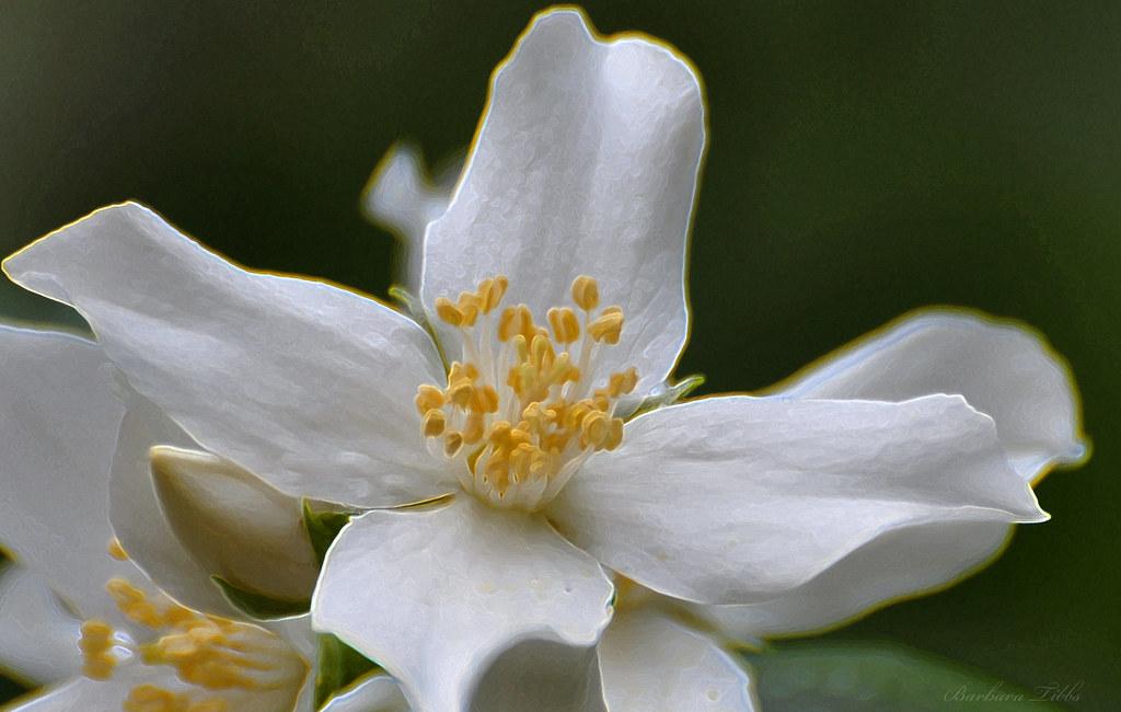 Idaho State Flower The Syringa The Syringa