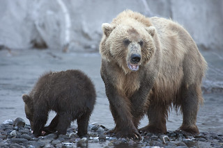 Bears in Kamchatka, Russia. | by richard.mcmanus.