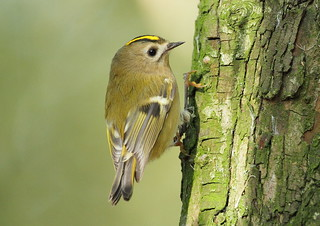 Goldcrest - (Regulus regulus) | by Howard's Flickr Birdspot.