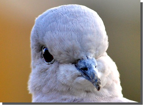 Collared dove | by Lamby1959