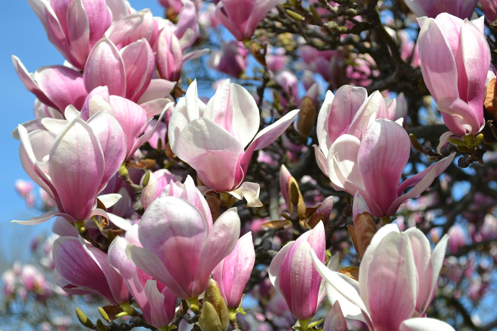magnolia x soulangiana magnolia x soulangiana blooming in flickr. Black Bedroom Furniture Sets. Home Design Ideas