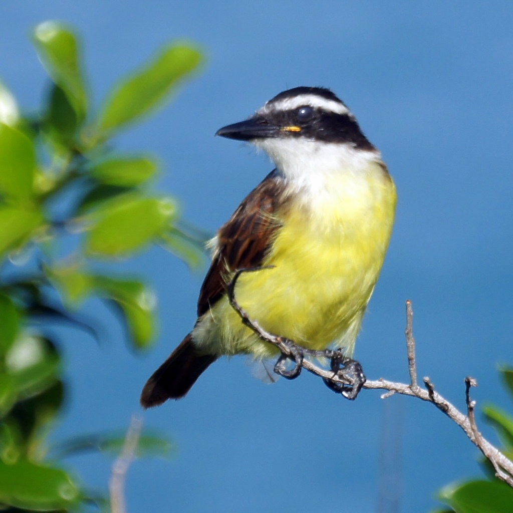 Image of a Great Kiskadee