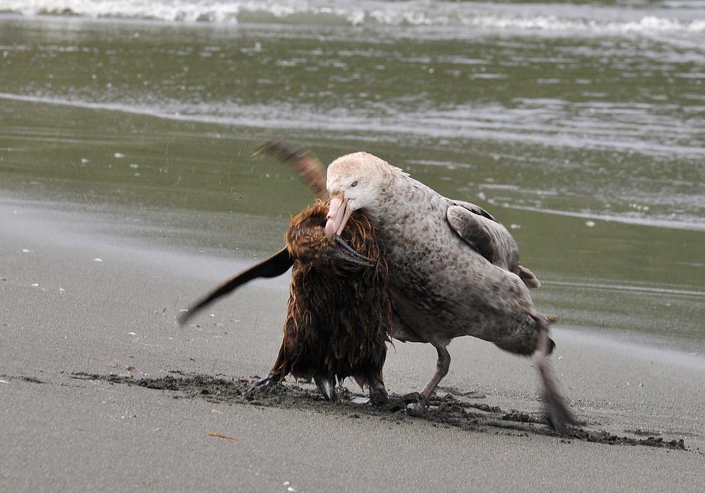 pinguin attack