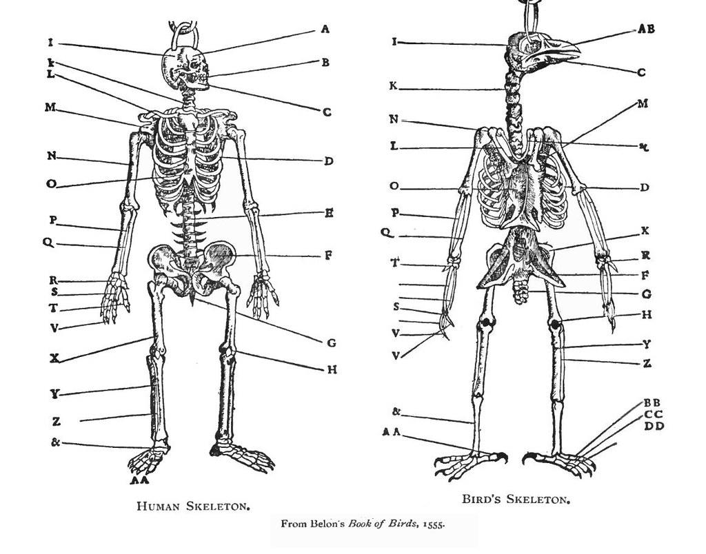 Comparative Anatomy Human Bird Belon 1555 For Backg Flickr