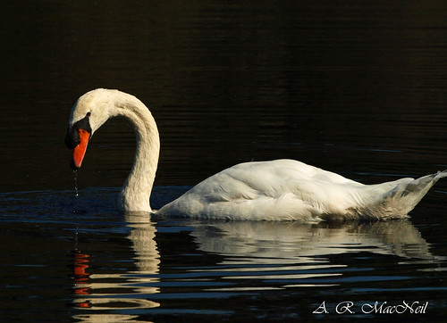 Swan Feeding 1 - Great River, New York | by Barra1man (Back From Vacation)