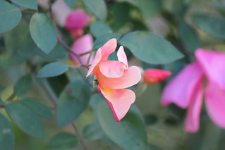 'Chinensis Mutabilis' rose - #10 | by Beppenob (OFF ... not always)