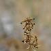 Plumbago europaea L. /  matarrabiosa