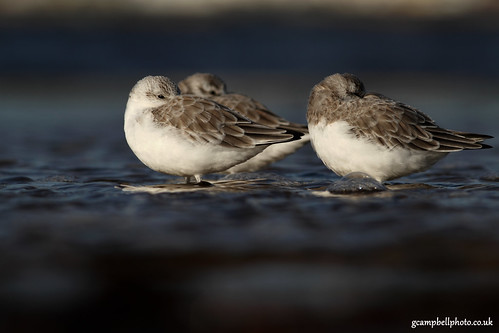 Sanderling Collection (more below) | by gcampbellphoto