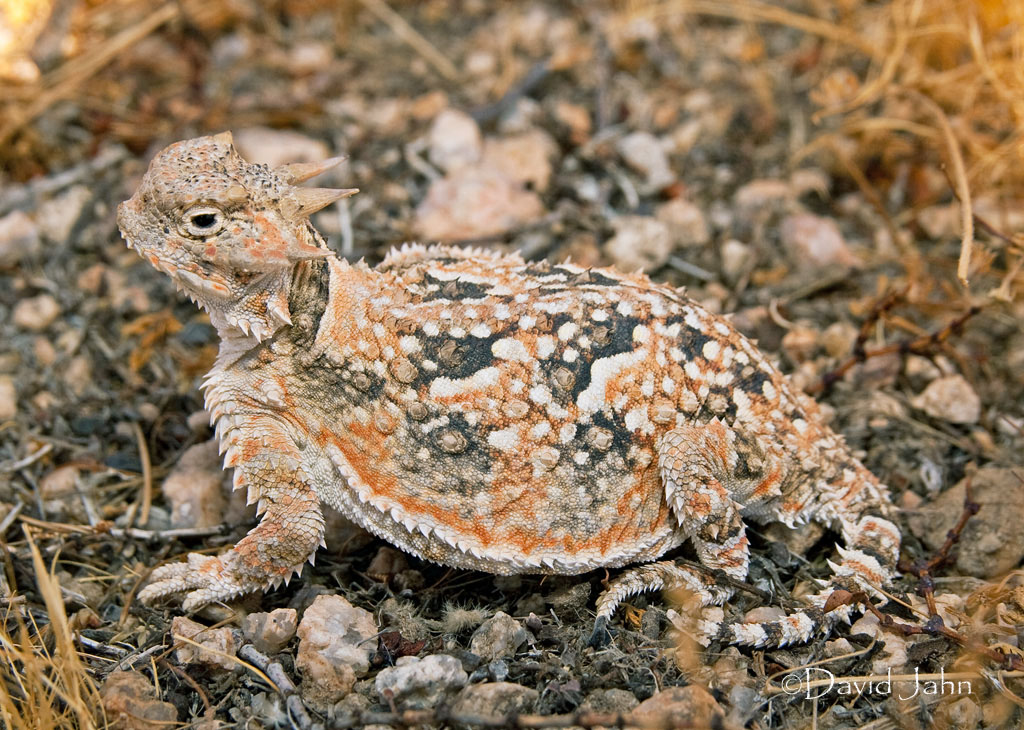 Desert Horned Lizard (Phrynosoma Platyrhinos) Stock Photo, Picture ...