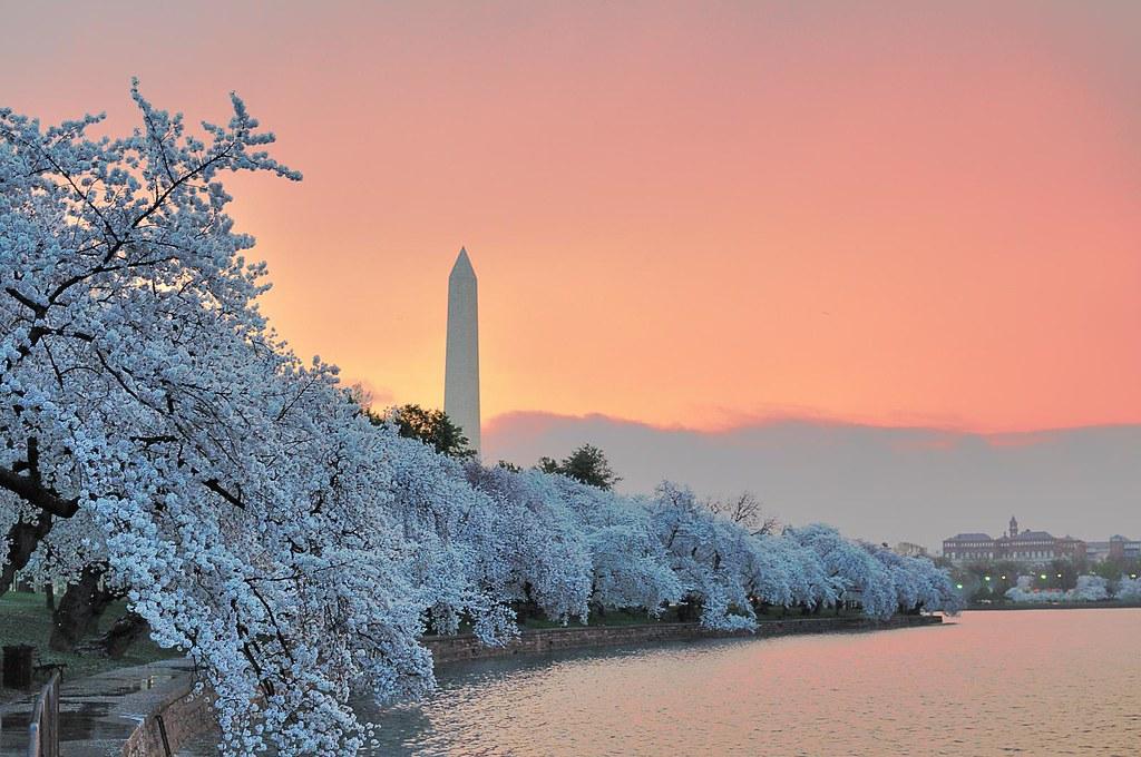 Washington Monument with Cherry Trees at dawn | Fotos ...