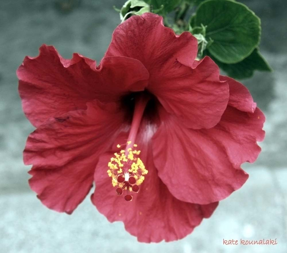 Hibiscus rosa sinensis the national flower of malaysia hi flickr hibiscus rosa sinensis by kkounalaki izmirmasajfo Choice Image