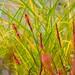 persicaria firetail  663